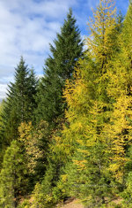 Larch, Tamarack in Idaho