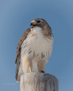 Red Tailed Hawk in Nebraska