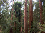 Redwood trees in the Muir Woods