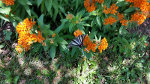 Butterfly in Virgina
