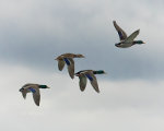 Mallards over Lincoln, Nebraska