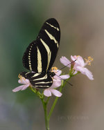 Beautiful Zebra Longwing in Omaha Nebraska