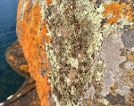 Lichens on a lakeside rock in Minnesota