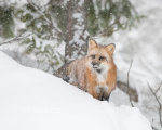 Red Fox in the snow near Kalispell, Montana