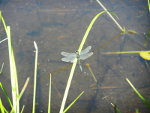 Dragonfly in Montana