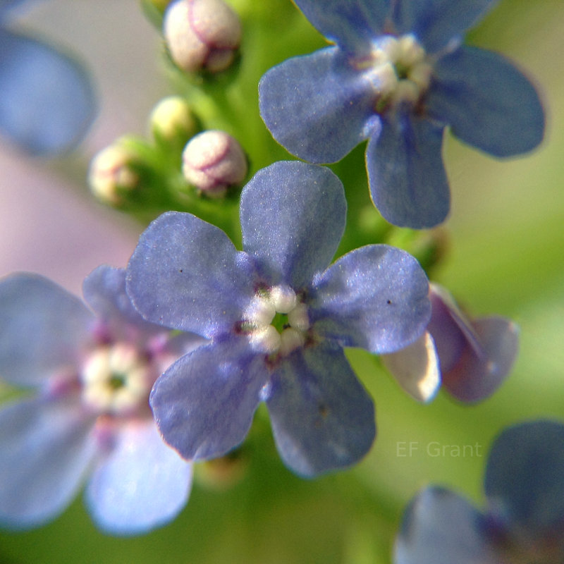 Forget-me-not in Indiana