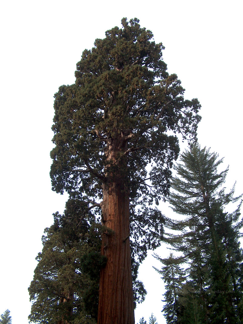 Sequoia Redwood in California