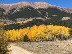 Gold Aspens in Colorado