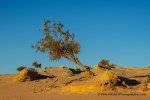 Tree in the desert at  Walls of China, Mungo NP, NSW