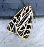 Moth in Barboursville, Virginia