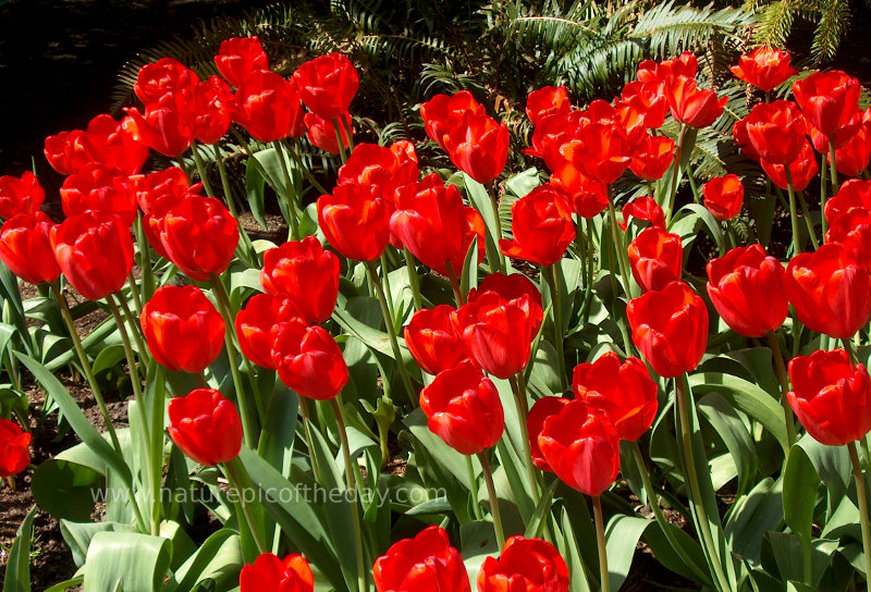 Red Impression Tulips