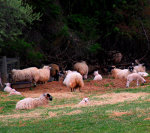 Sheep and lambs in Virginia