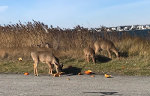 Deer on Fire Island, NY