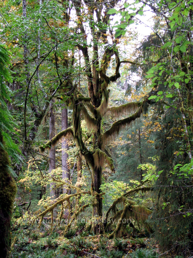 Moss covered tree in the Hoh rain forest.