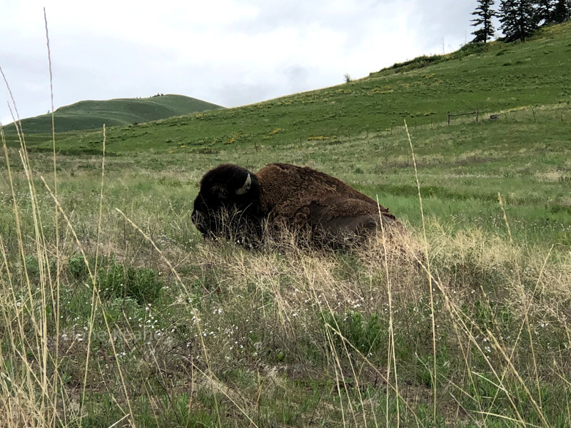 Buffalo at the National Bison Range in Montana