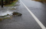 Salmon swimming across the road in Washington State