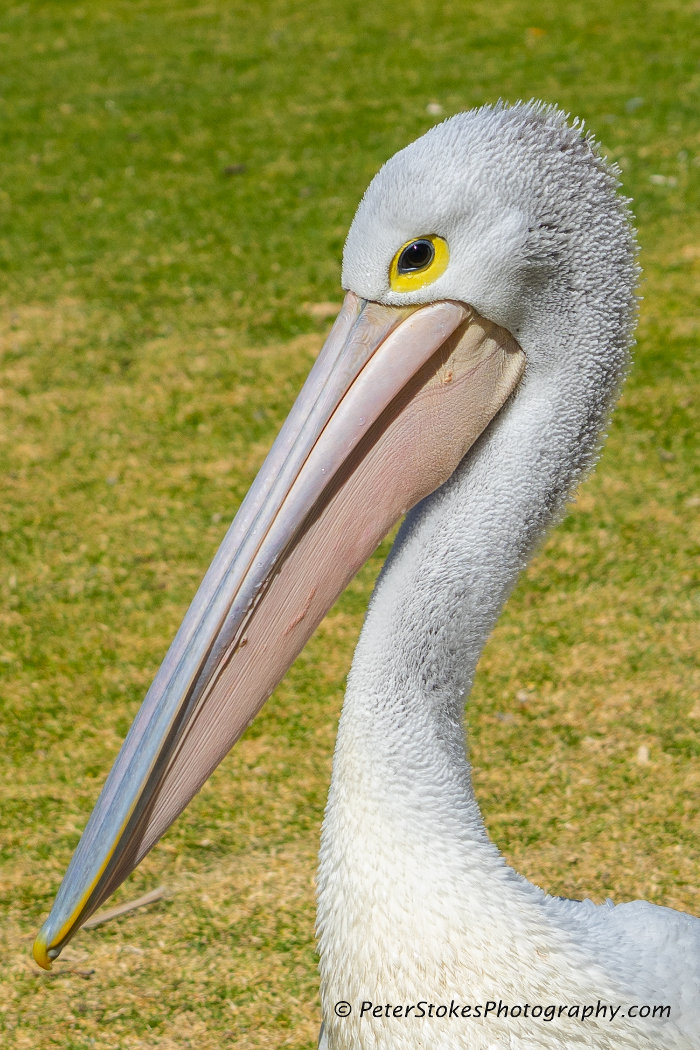 Pelican at Port Macquarie, NSW
