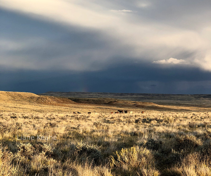 Wild Mustang horses in Wyoming