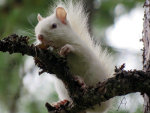 White Squirrel in Montana