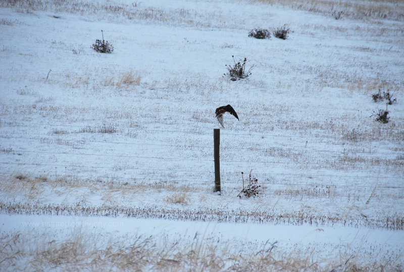 Hawk jumping off a fence post.