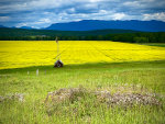 Canola fields in Montana
