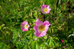 Wild Roses in Idaho