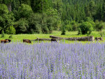 Purple Lupine and brown cows in Montana
