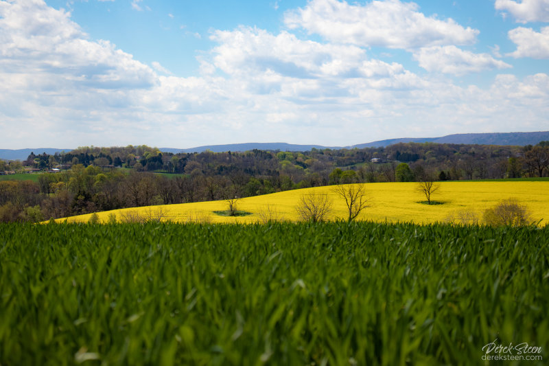 Canola Fields in Cherryville, PA