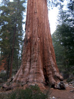 General Sherman Sequoia Redwood