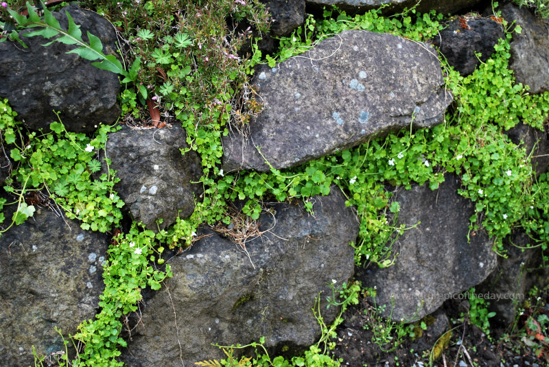 Pretty things growing in the cracks of a rock wall.