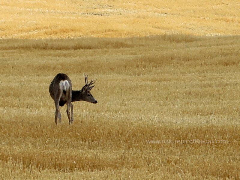Buck in a wheat field.
