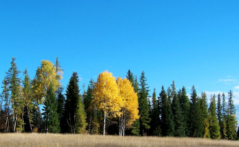 Birch in Montana in the Fall