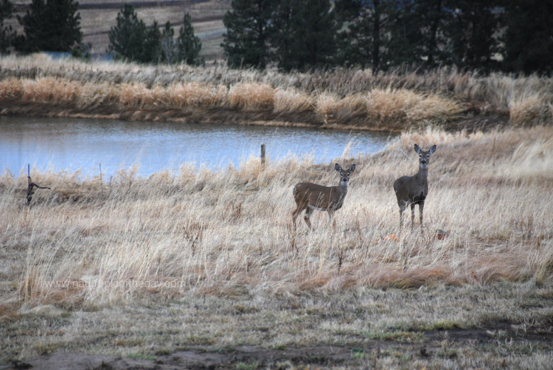 Whitetail Deer in Idaho