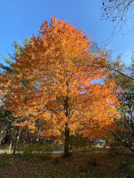 Maple Tree in Jefferson, MA