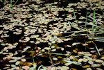 Leaves on A Pond