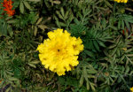 Yellow Marigold
