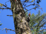 Pileated Woodpecker in Idaho
