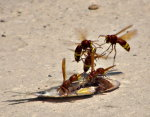 Nature PHotography.  Wasps eating a fish in Paphos Harbor, Cyprus.