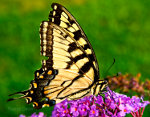 butterfly, tiger swallowtail