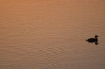 Duck on the water at sunset