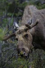 Moose in Glacier National Park, Montana.