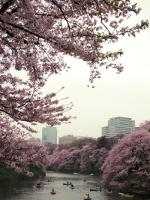 Cherry trees in Japan