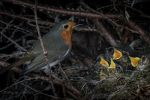 A populated robins nest in England