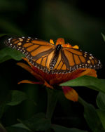 Butterfly in Lincoln, Nebraska