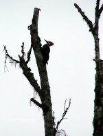 Pileated Woodpecker in a tree