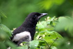 Magpie in spring