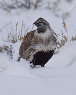 Grouse in Jackson Hole, WY