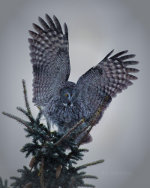 Great Gray Owl in Jackson Hole, WY