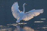 Great Egret stretches its wings in Michigan