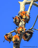 Grey headed flying foxes in Dandenong Ranges, Victoria, Australia